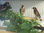 aviarioelreydelmixto