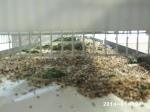 aviario de mixtos jilgueros