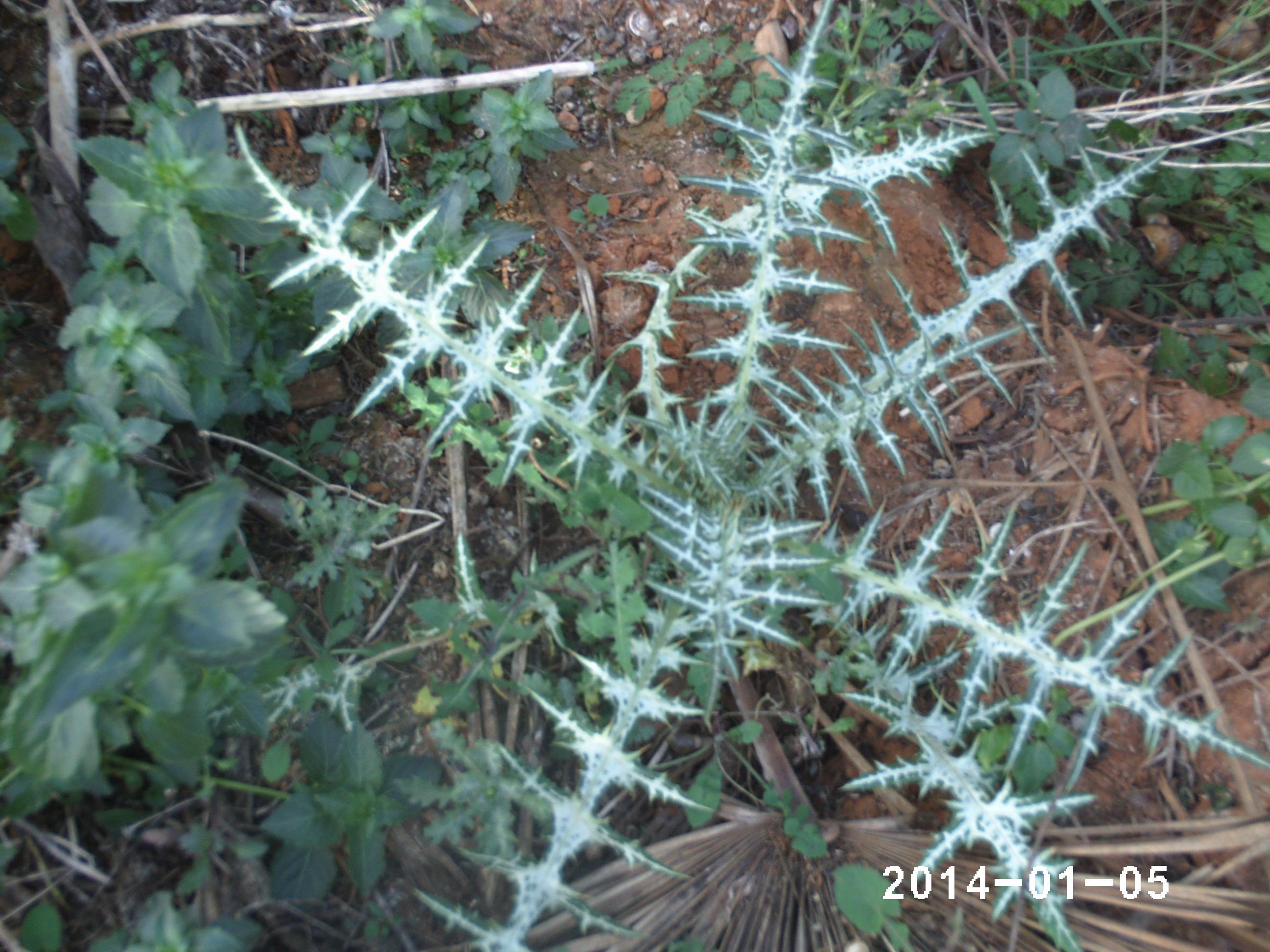 Plantas silvestres  aviario elreydelmixto