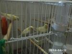 aviario de mixtos y jilgueros