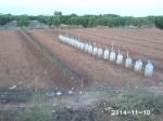 plantación de brócoli